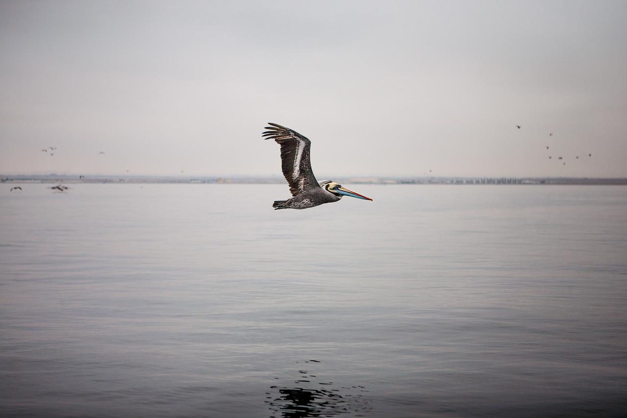 Pelican in flight, Islas Ballestas, Peru