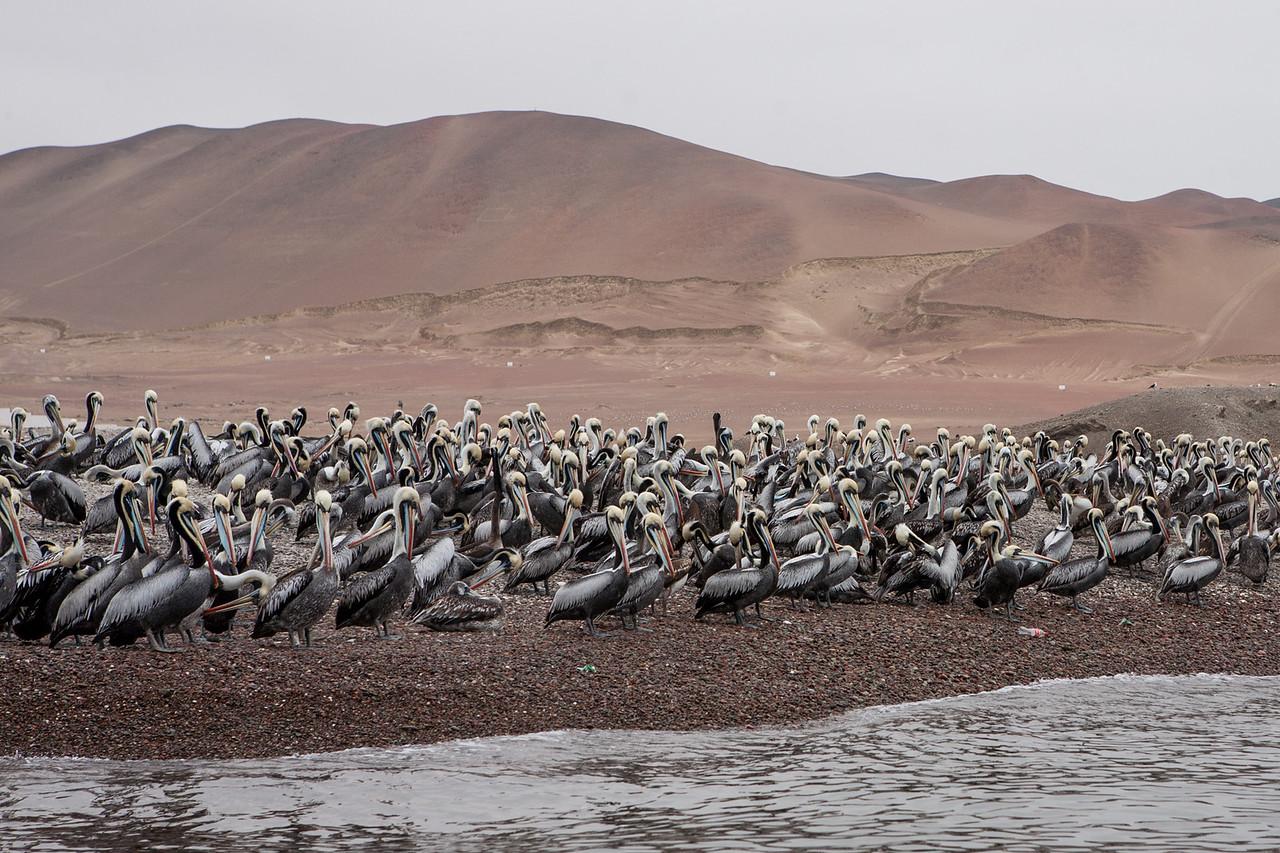 Colony of Peruvian Pelicans on Islas Ballestas, Peru