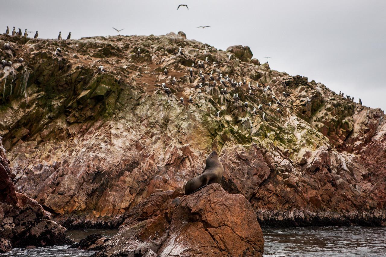 Sea lions, Humboldt penguins and other marine life at Islas Ballestas, Peru
