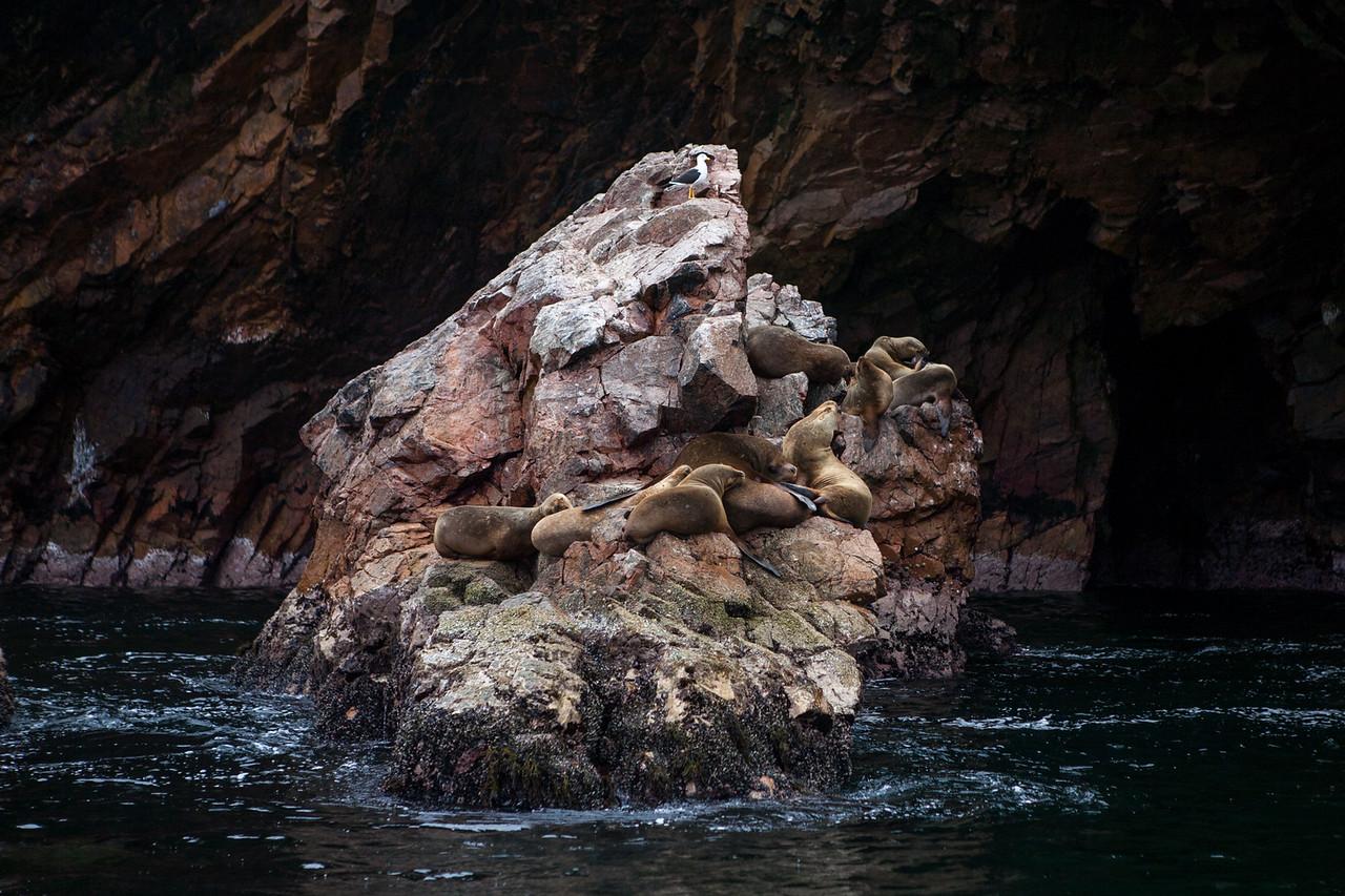 A colony of sea lions at Islas Ballestas, Peru