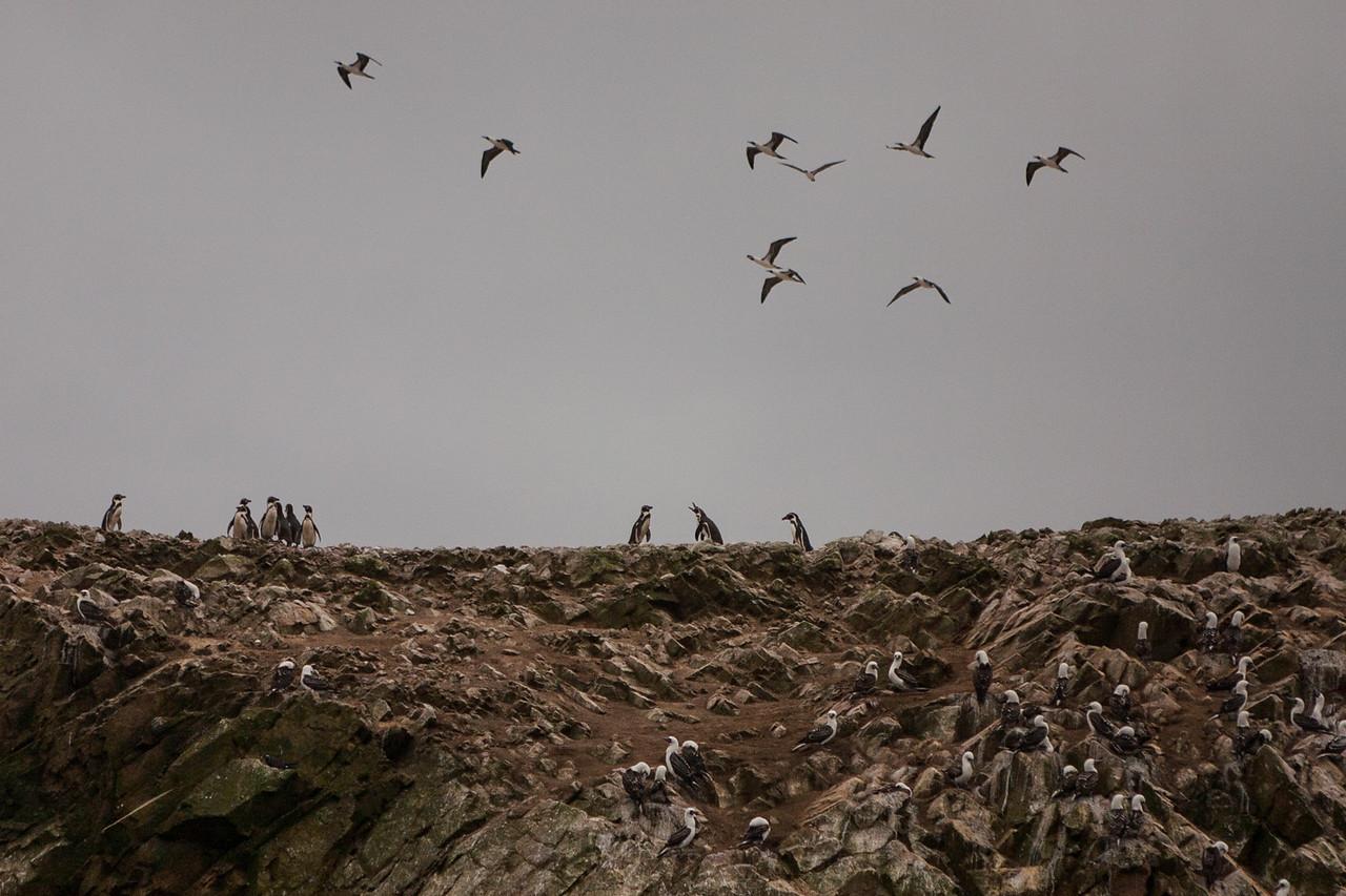 Humboldt penguins and Peruvian boobies at Islas Ballestas, Peru