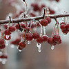 The rain and the cold temperatures on Friday, Feb. 7, 2020 left some trees with ice on them. SENTINEL & ENTERPRISE/JOHN LOVE