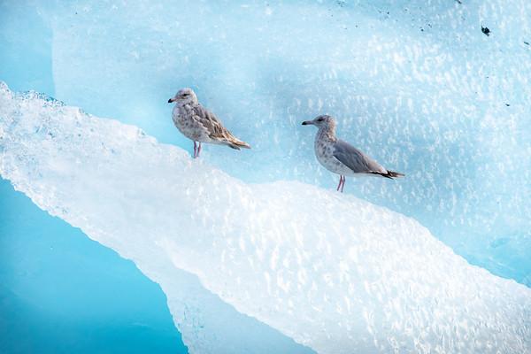 Seagull Duo on Iceberg, Stephens Passage