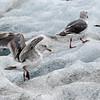 Glaucous Winged Gulls on Iceberg, Endicott Arm
