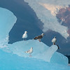 Gulls on Iceberg, Stephens Passage, Alaska