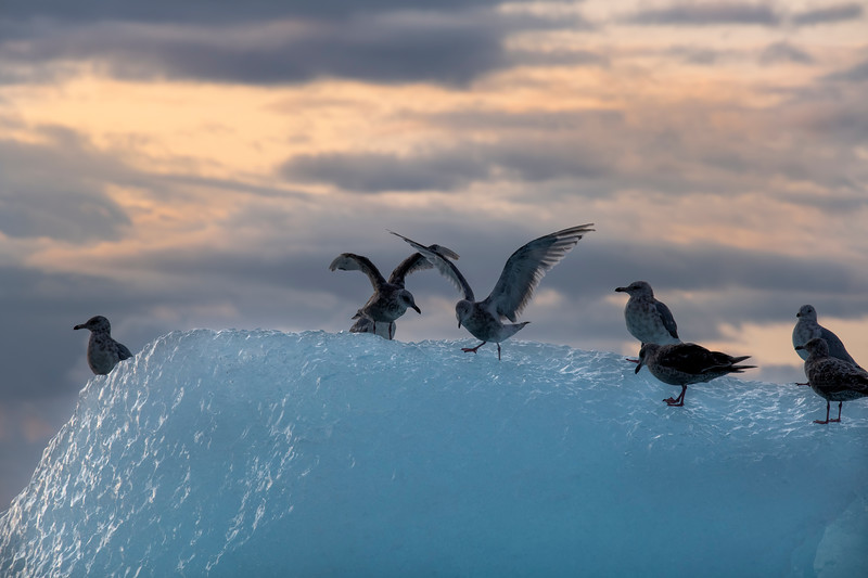Gulls Flap Wings, Iceberg, Stephens Passage
