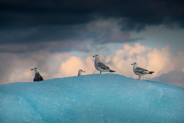 Gulls, Iceberg and Sunset, Stephens Passage