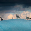 Gulls, Iceberg and Sunset, Stephens Passage