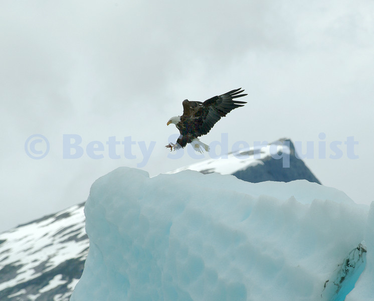 Bald Eagle Landing on Iceberg