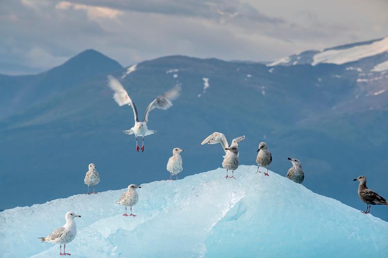 Gull Takes Flight from Iceberg