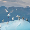 Gull Takes Flight from Iceberg