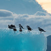 Gulls Silhouetted on Iceberg, Stephens Passage, Alaska