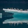 Glaucous Winged Gulls on Iceberg