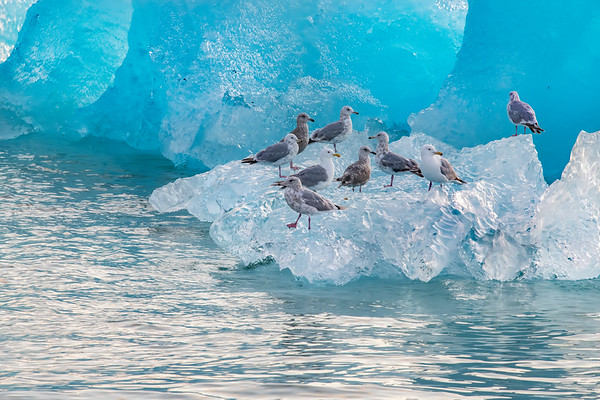 Gulls Crowd Iceberg, Stephens Passage, Alaska.