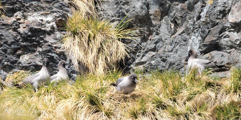 """""""Nesting Albatross"""""""
