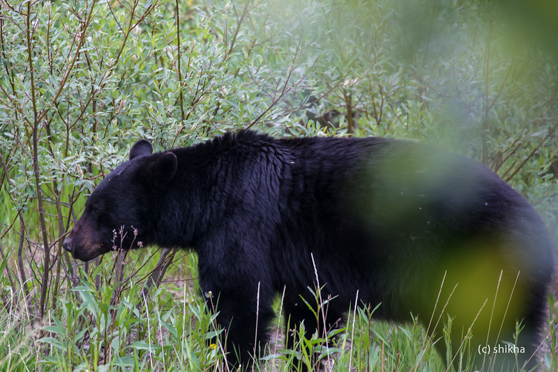 This black bear was only a few feet away from me !! Spotted it off Icefields Parkway.