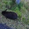 Icelandic bunny
