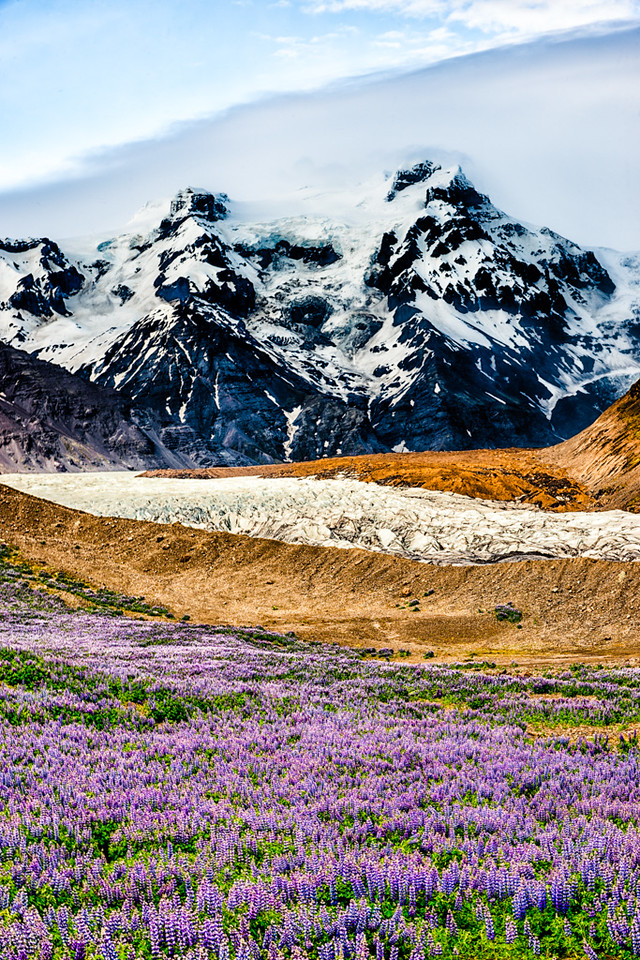 Lupine, Glacier and Mountains