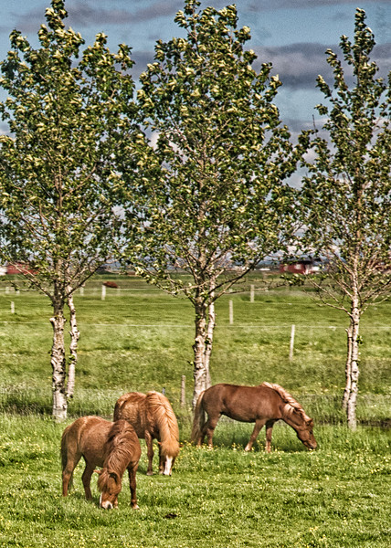Three horses and three trees