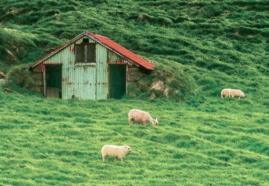 Sheep roam everywhere