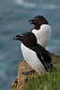 Razorbills at Latrabjarg.