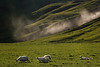 Some sheep in evening light. In the background the sheets of mist of the Skogafoss waterfall.