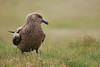Great skua at Ingolfshofdi.