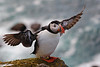 Puffin at Latrabjarg.