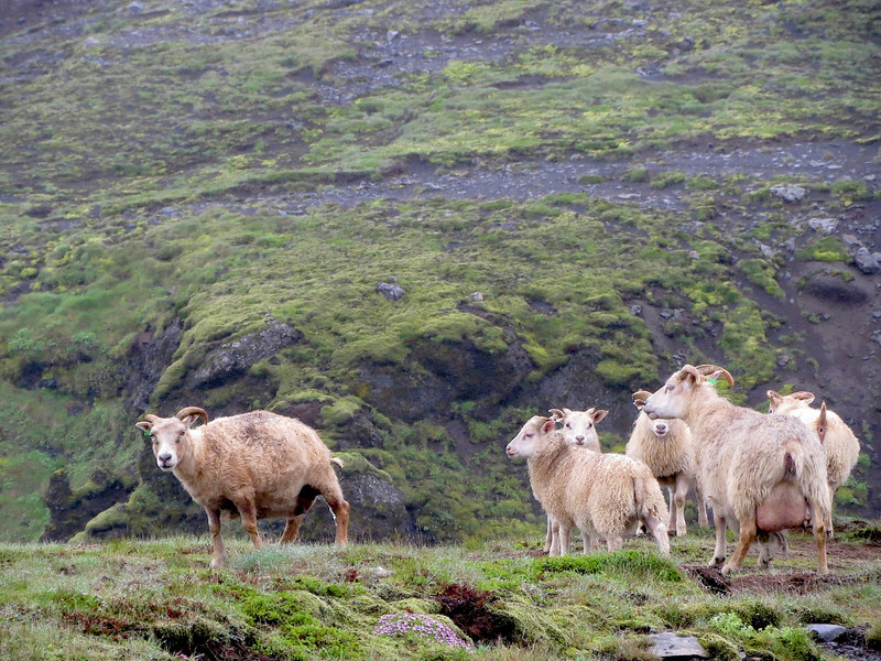 There are wild sheep all over Iceland.