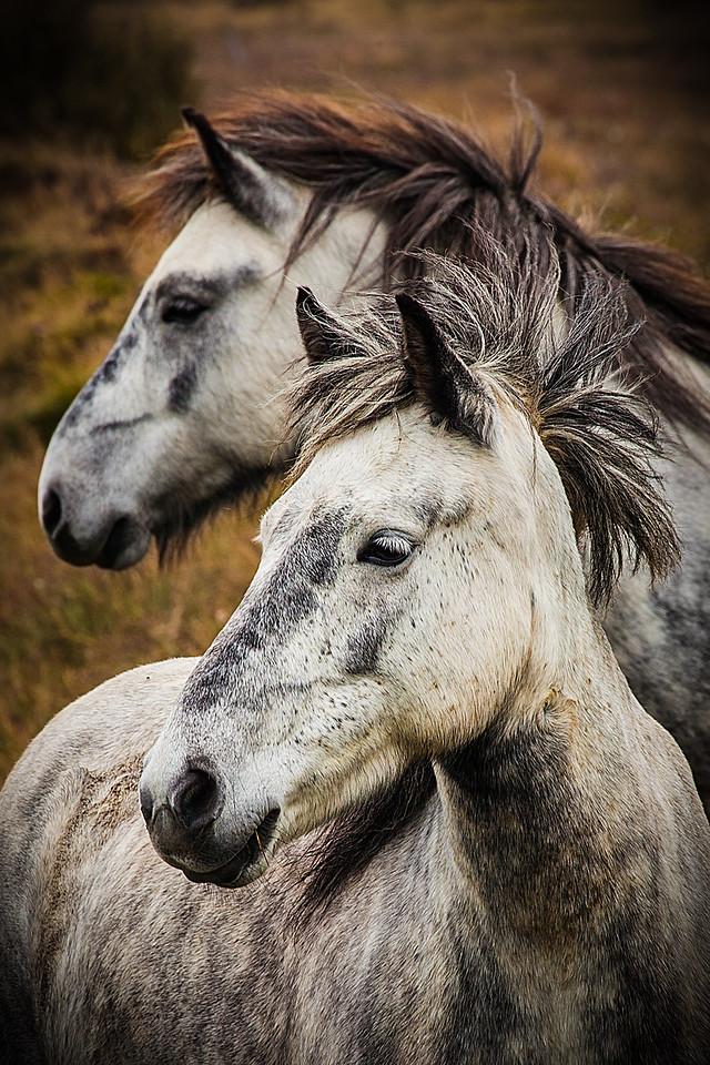 Iceland Horses 4