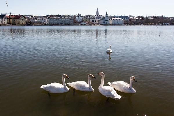 Reykjavik Iceland - Whooper Swans at Lake Tjornin-2050
