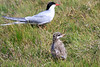 Iceland_Arctic_Tern_With_Chick_2016_0056
