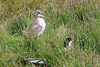 Iceland_Arctic_Tern_With_Chick_2016_0038