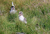Iceland_Arctic_Tern_With_Chick_2016_0044