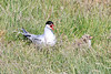 Iceland_Arctic_Tern_With_Chick_2016_0083