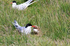 Iceland_Arctic_Tern_With_Chick_2016_0020