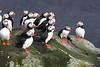 Iceland Atlantic Puffin-7
