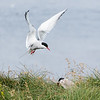 Arctic Tern feeding its young.
