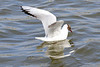 Iceland_Black-Headed_Gull_2016_0023