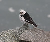 Snow Bunting Iceland