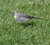 Pied Wagtail Iceland