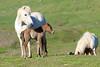 Icelandic_Horse_Mother_Foal_2016_0450