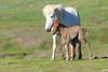 Icelandic_Horse_Mother_Foal_2016_0474