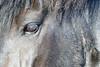 Icelandic_Horse_2016_0278