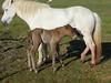 Icelandic_Horse_Mother_Foal_2016_0499