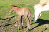 Icelandic_Horse_Mother_Foal_2016_0018