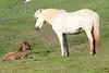 Icelandic_Horse_Mother_Foal_2016_0490