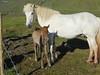 Icelandic_Horse_Mother_Foal_2016_0496