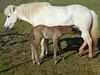 Icelandic_Horse_Mother_Foal_2016_0500
