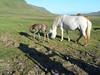 Icelandic_Horse_Mother_Foal_2016_0503
